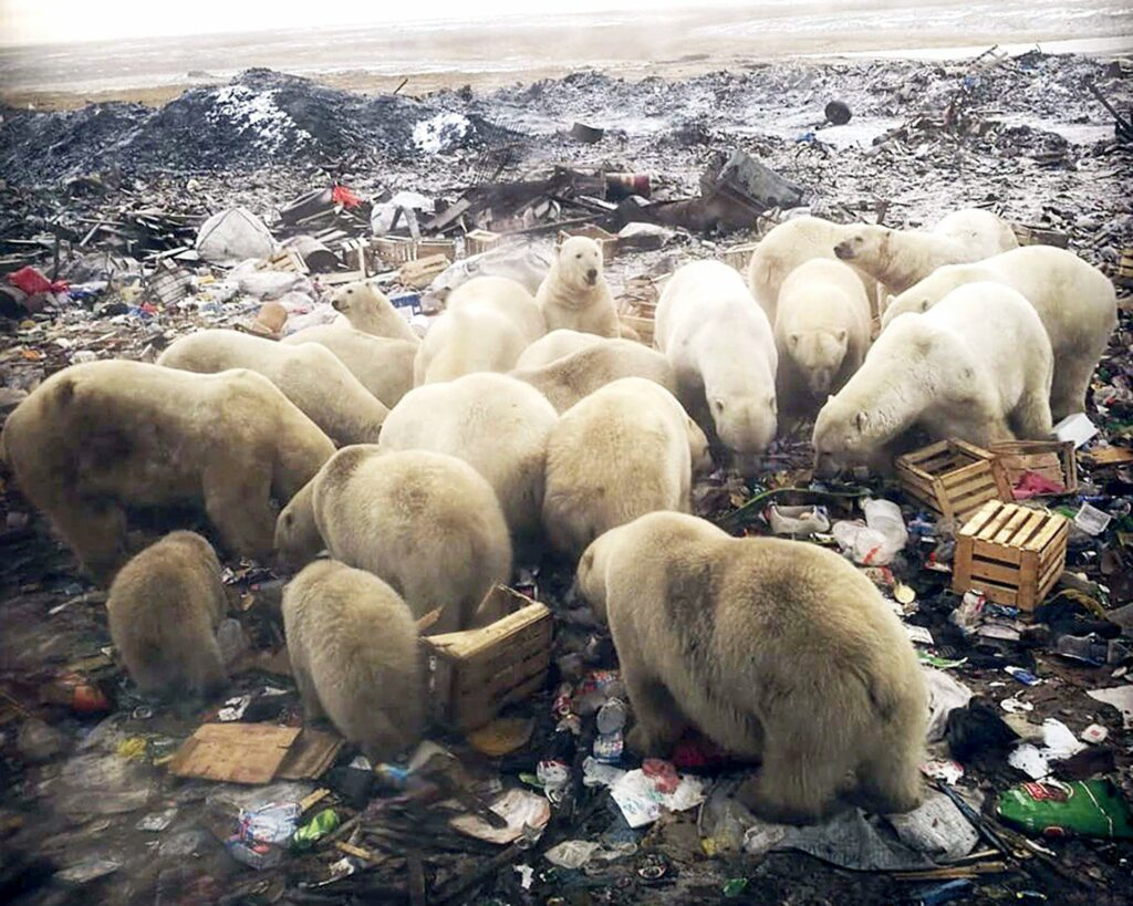หมีขั้วโลก 56 ตัว บุกหมู่บ้าน Ryrkaypiy รัสเซีย