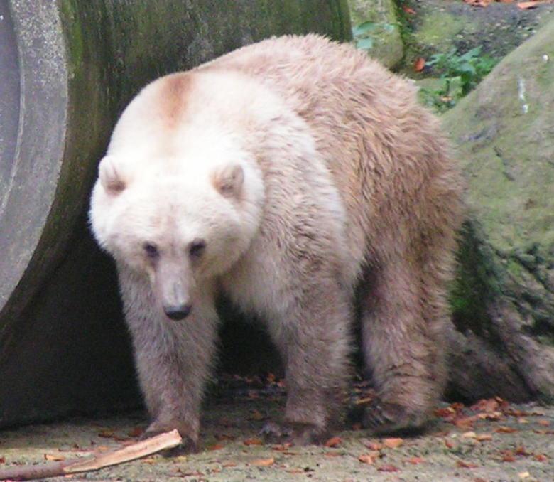 หมีพิซลี่ย์ในสวนสัตว์ ประเทศเยอรมัน